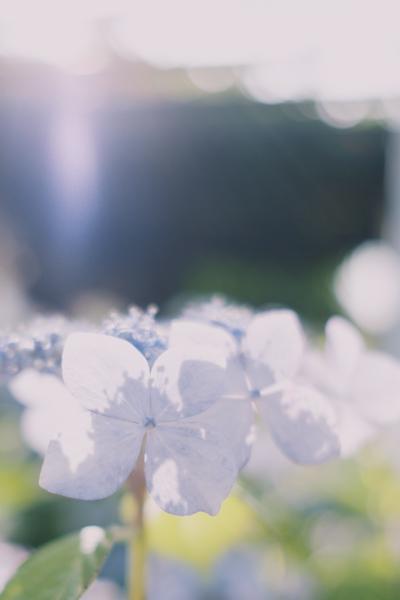 ヤマアジサイと陽光(Fujifilm X-Pro2)