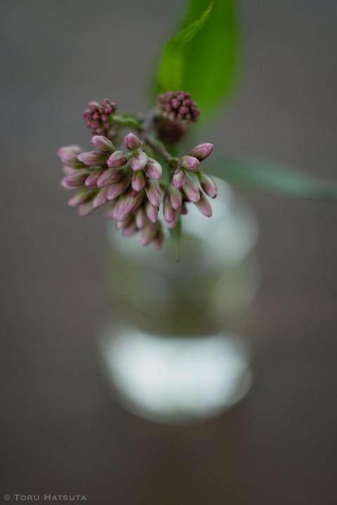 藤袴の花、ガラス瓶を背景に