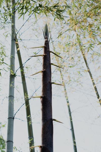 見上げる高さに育った竹(Fujifilm X-Pro2)