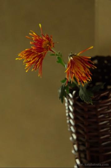 菊を掛け籠花入に