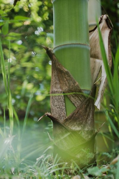 竹の根元から皮が落ちてゆきます(Fujifilm X-Pro2)