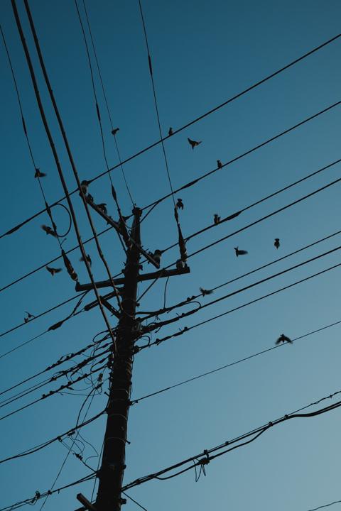ムクドリの群れは日没ちかくなると集団で塒へ帰るようです