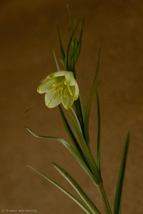 貝母(アミガサユリ)の花