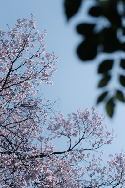 落葉樹の桜にも、もうじき若葉が(Fujifilm X-Pro2)