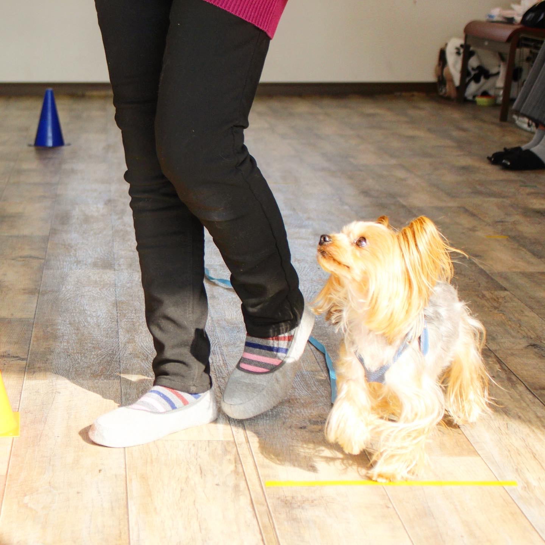 犬のオビディエンス 犬のトレーニング チワワ