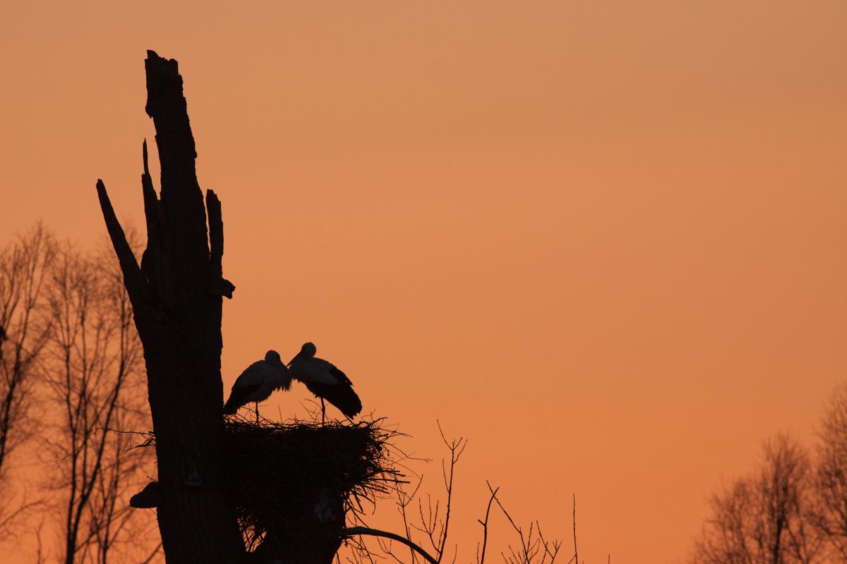 Storchenromantik in den Büttelborner Bruchwiesen (Foto: Carsten Ott)