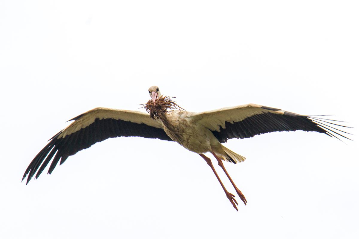 Ein storch transportiert Nistmaterial im Schnabel (Foto: Carsten Ott)