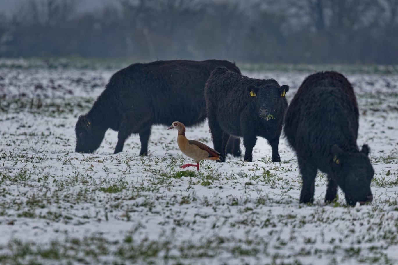 Den Galloway-Rindern macht Kälte nichts aus. Dazwischen watschelt eine Nilgans