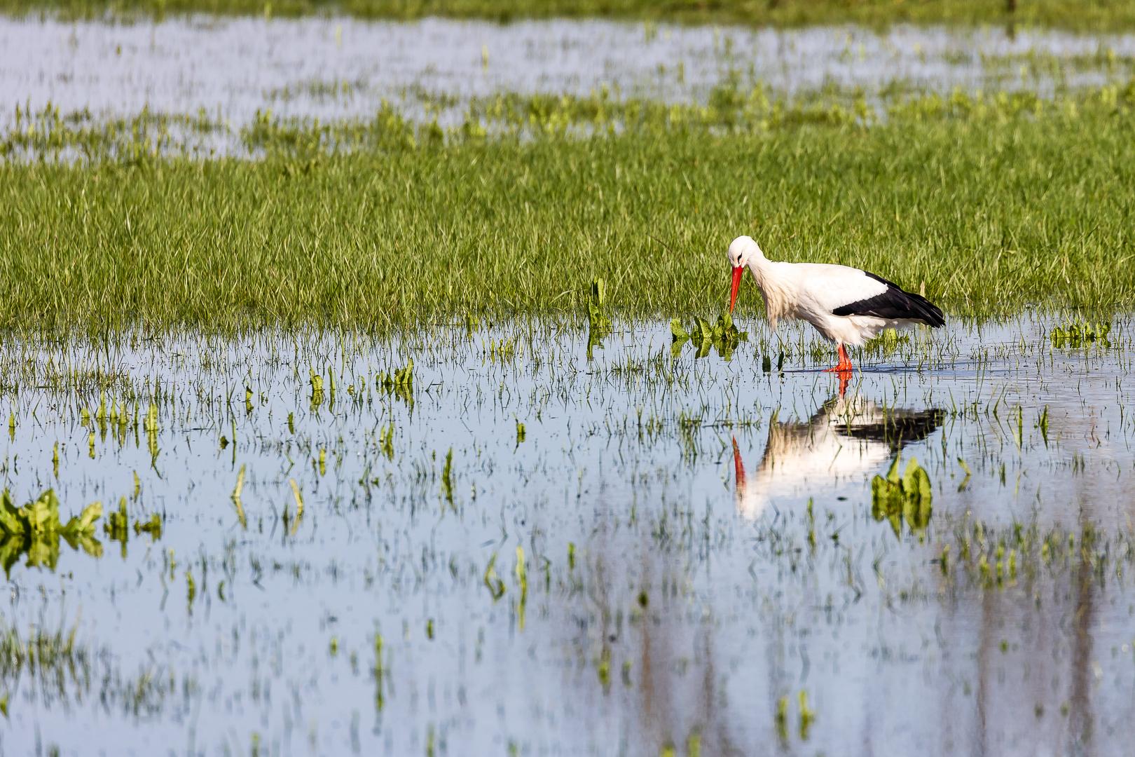 Überschwemmungsgebiete sind Ideal für die Nahrungssuche (Foto: Michael Lamberty)