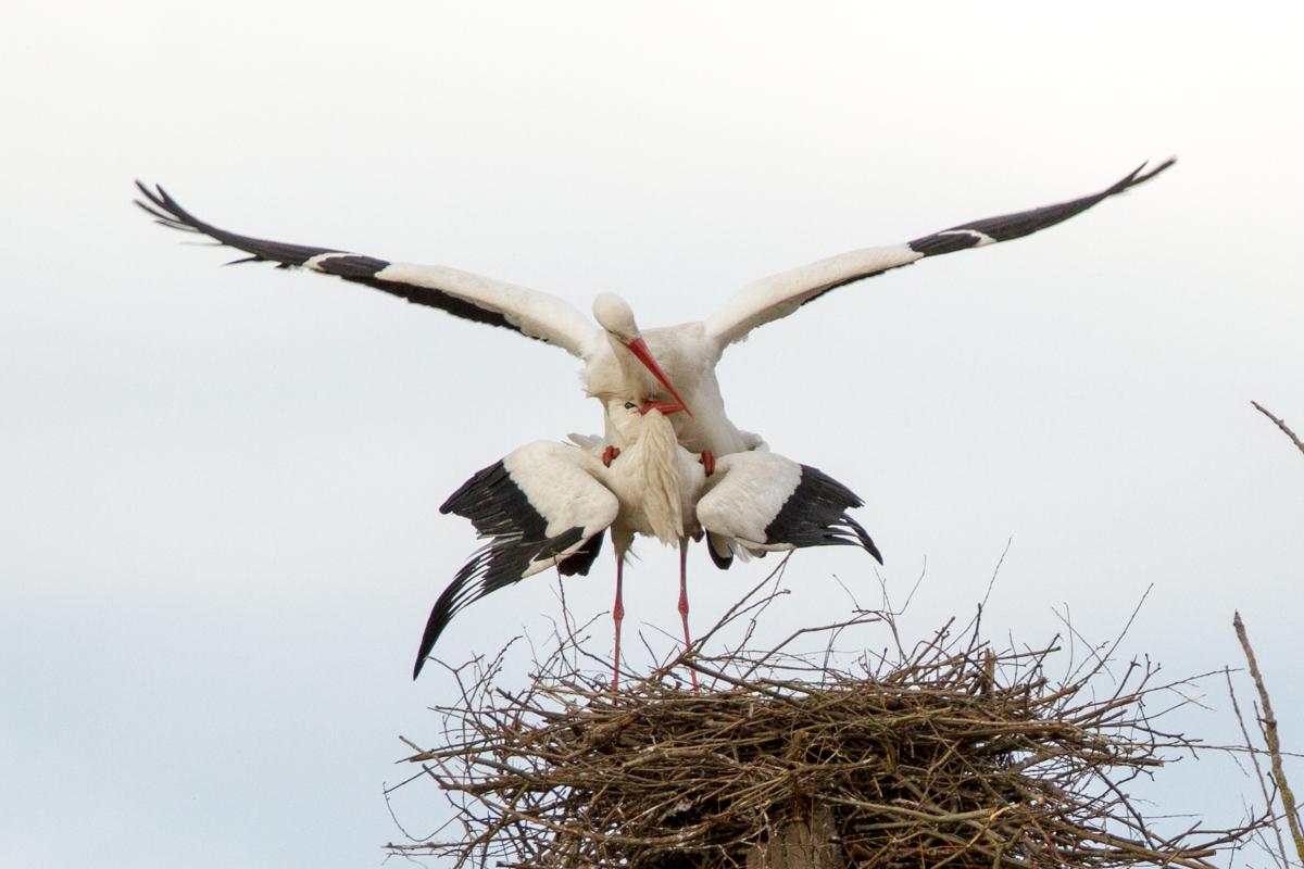 zwei Störche paaren sich (Foto: Carsten Ott)