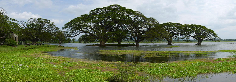 Samanea Saman (arbres à pluie)