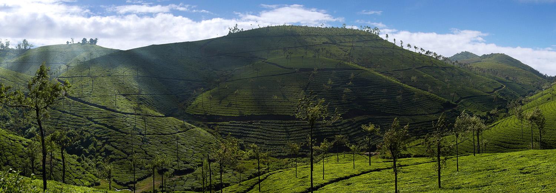 Cardamores, plantations de thé