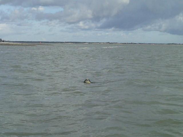 Phoque veau marin en Baie de Somme