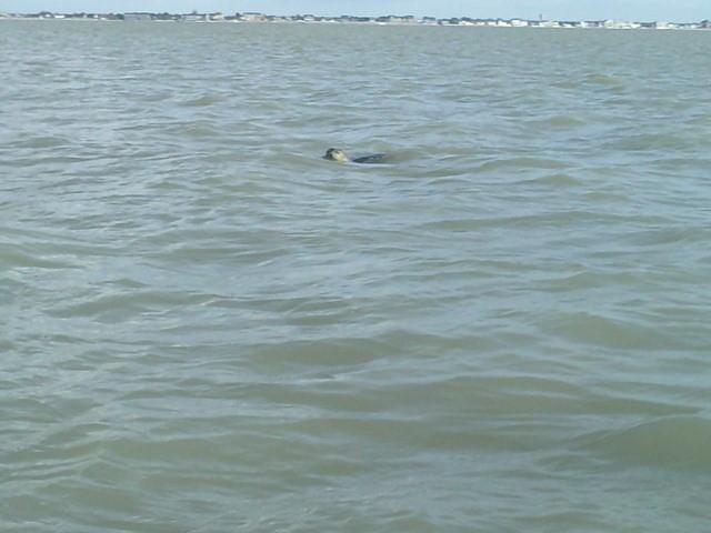 Phoque veau-marin à la Pointe du Hourdel