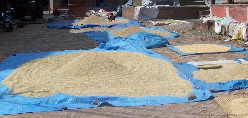 rijst wordt gedroogd in Sankhu