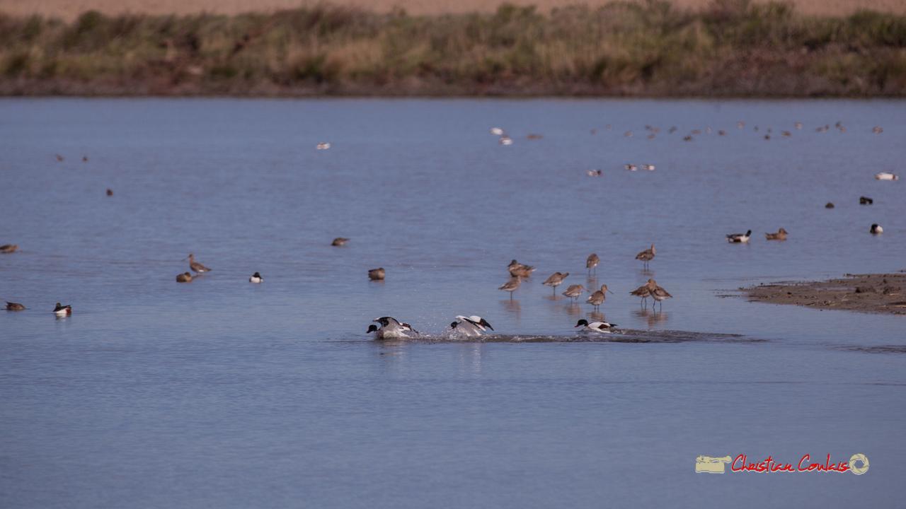 Bataille entre tadornes de Belon, réserve ornithologique du Teich, 16 mars 2019. Photographie © Christian Coulais