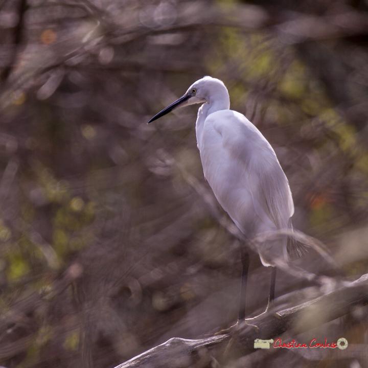 Aigrette garzette en observation au dessus d'une lagune. Réserve ornithologique du Teich, 16 mars 2019