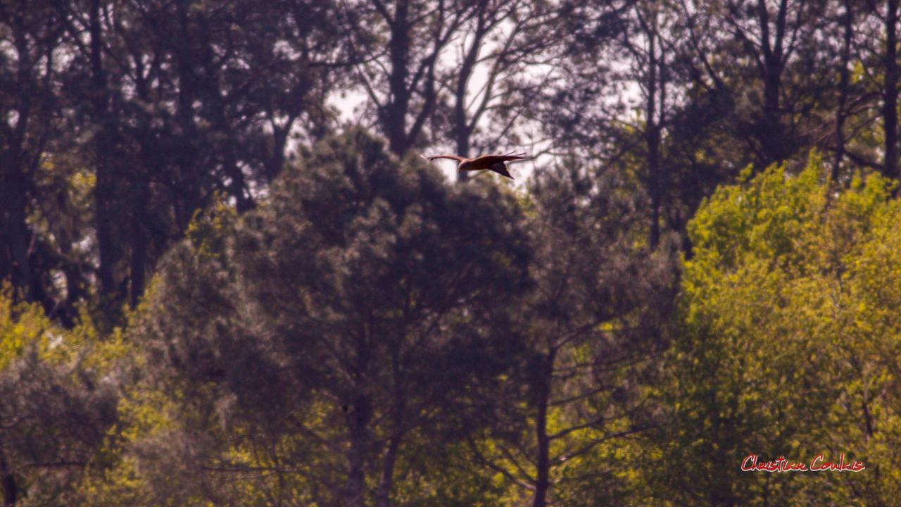 Milan noir. Réserve ornithologique du Teich, 3 avril 2021. Photographie © Christian Coulais