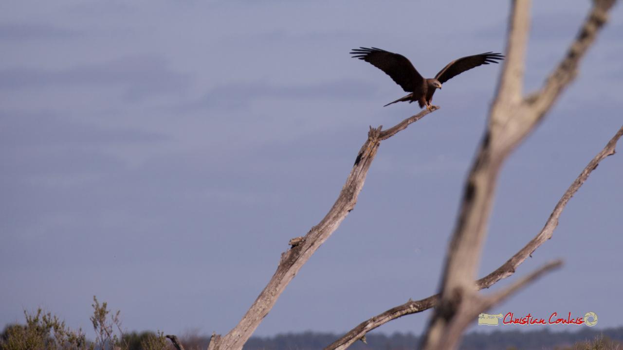 Milan noir, phase d'approche pour se poser. Réserve ornithologique du Teich, 16 mars 2019. Photographie © Christian Coulais