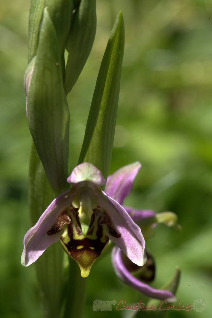Ophrys abeille, Ophrys apifera Photographie Christian Coulais