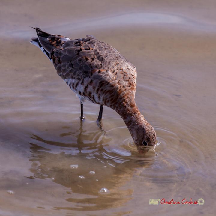 Barge à queue noire, réserve ornithologique du Teich, 16 mars 2019