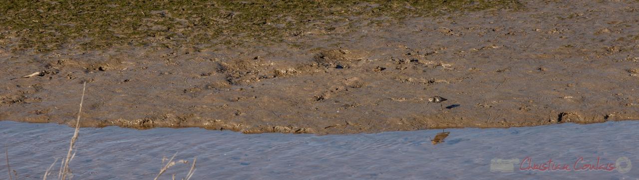 Pluvier argenté (Pluvialis squatarola). Domaine de Graveyron, Audenge, espace naturel sensible de Gironde