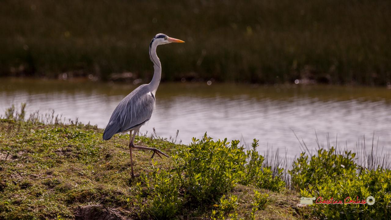 Héron cendré, réserve ornithologique du Teich. Samedi 16 mars 2019. Photographie © Christian Coulais