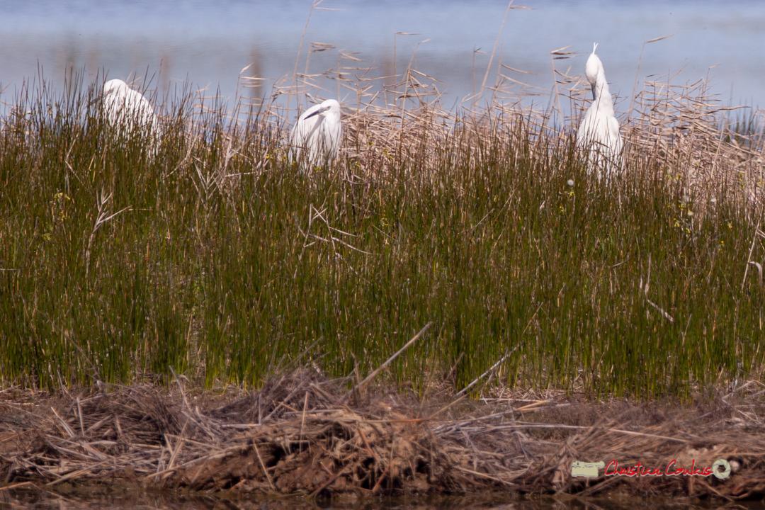 Aigrettes garzettes nicheuses. Réserve ornithologique du Teich, 16 mars 2019