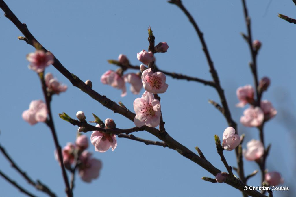 Fleurs de pommier, lieu-dit le Garde, Cénac
