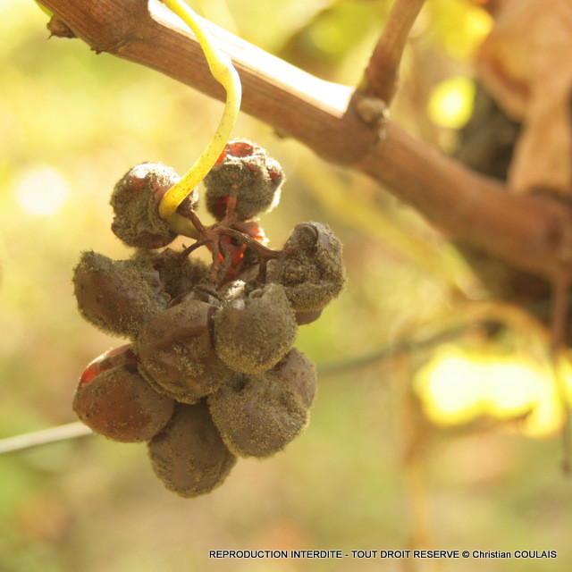 Pourriture noble ou Botrytis cinerea