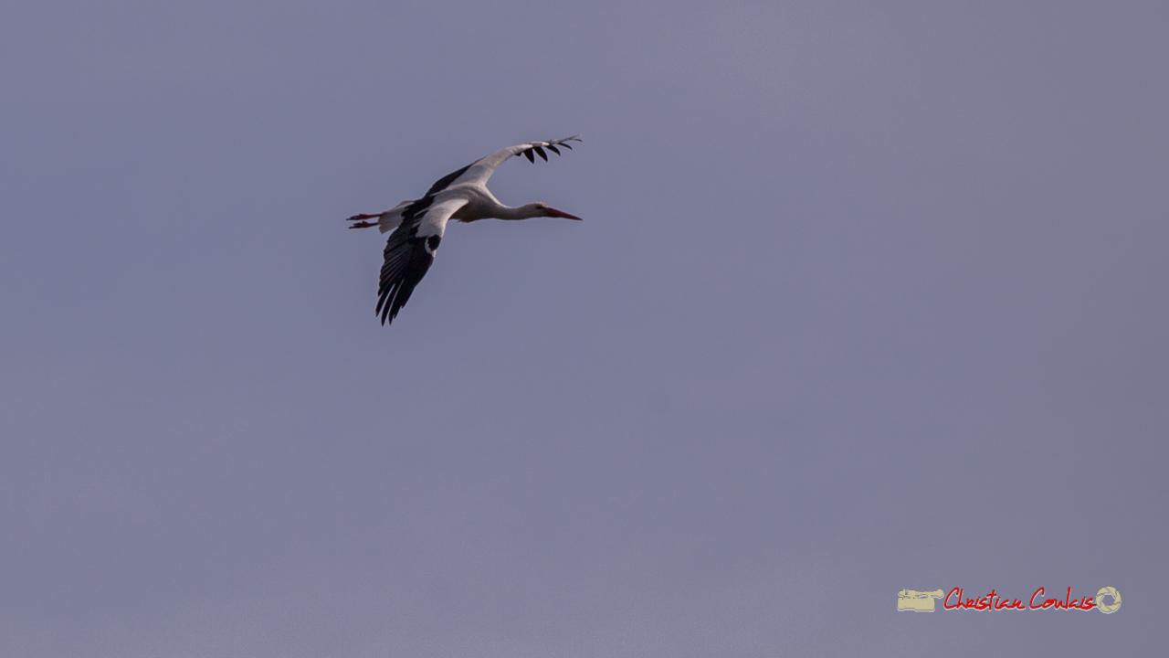 Vol de cigogne blanche. Réserve ornithologique du Teich, 16 mars 2019