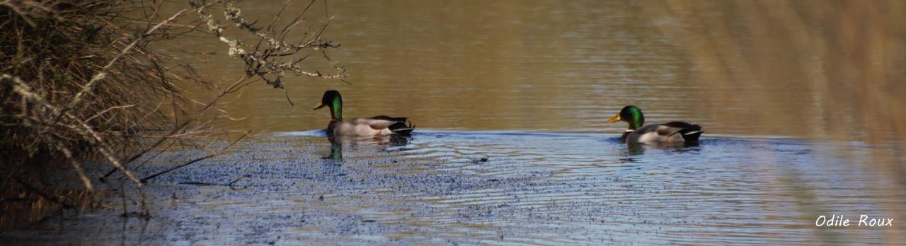 Canard colvert. Réserve ornithologique du Teich. Photographie Odile Roux. Samedi 16 mars 2019