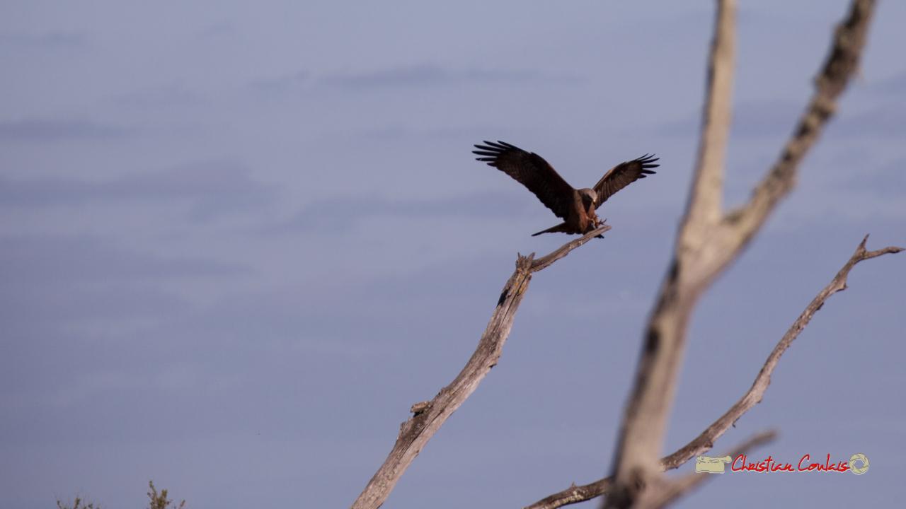 Milan noir (Milvus milvus), phase d'approche pour se poser. Réserve ornithologique du Teich, 16 mars 2019