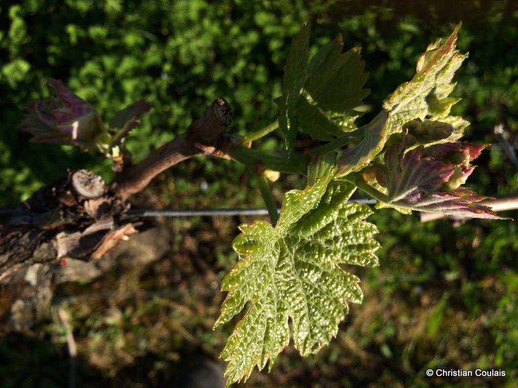 Vignobles de Bordeaux, Château le Garde, Cénac