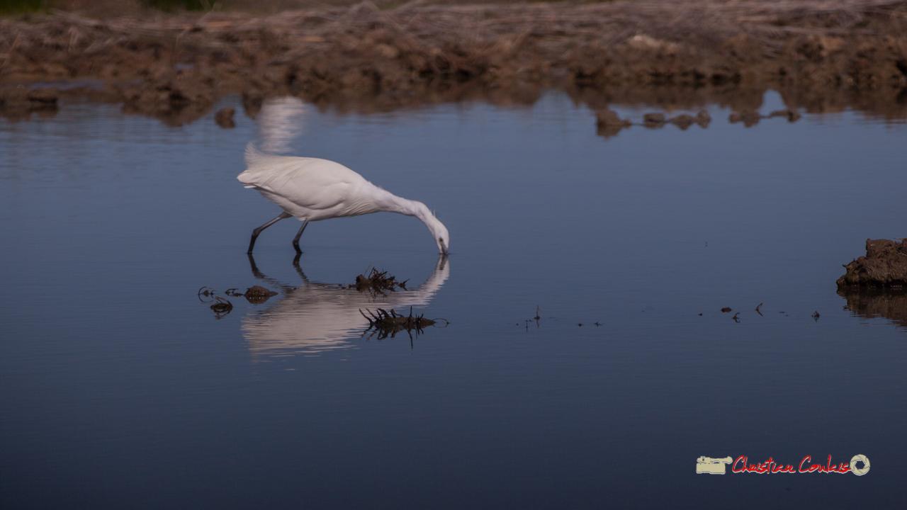Aigrette garzette en chasse sur une vasière. Réserve ornithologique du Teich, 16 mars 2019