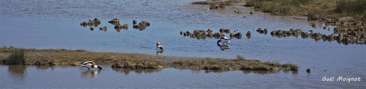 Tadorne de Belon. Réserve ornithologique du Teich. Photographie Gaël Moignot. Samedi 16 mars 2019