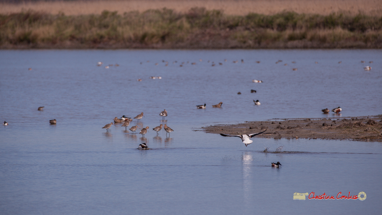 Bataille entre tadornes de Belon, réserve ornithologique du Teich, 16 mars 2019