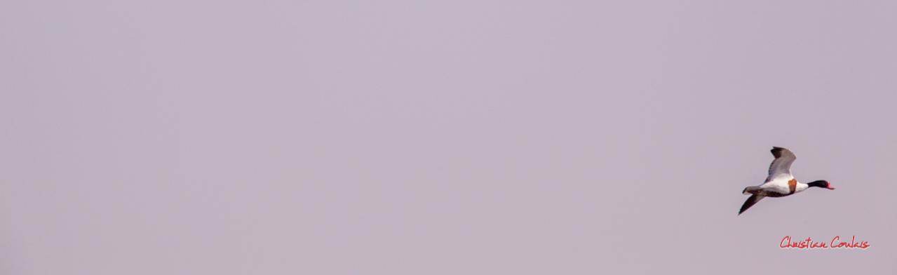 Vol de tadorne de Belon. Réserve ornithologique du Teich. Samedi 3 avril 2021. Photographie © Christian Coulais