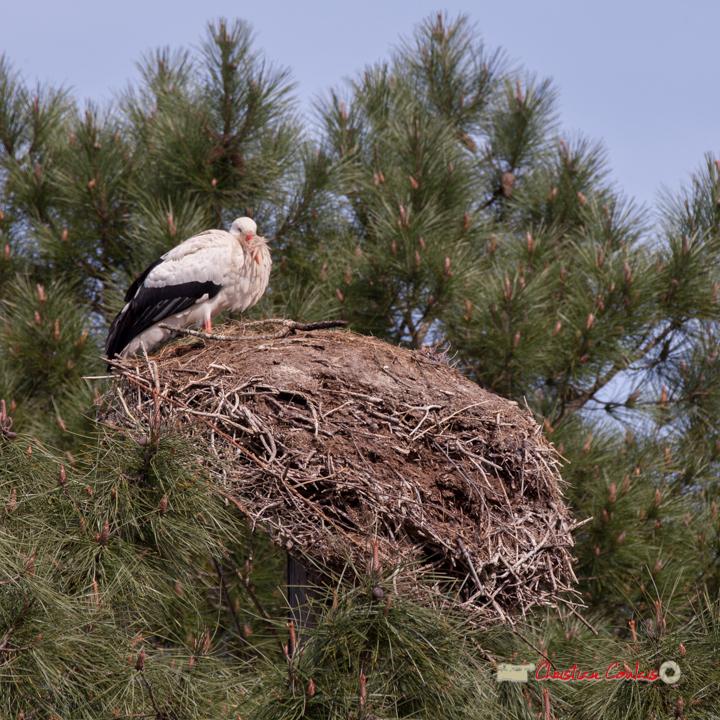 Nid de cigogne blanche, réserve ornithologique du Teich, 16 mars 2019