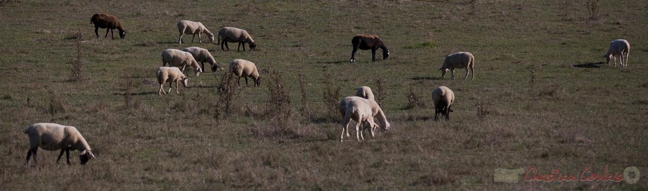 Elevage d'ovins, Croignon