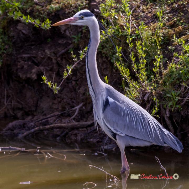 Héron cendré, réserve ornithologique du Teich. Samedi 16 mars 2019