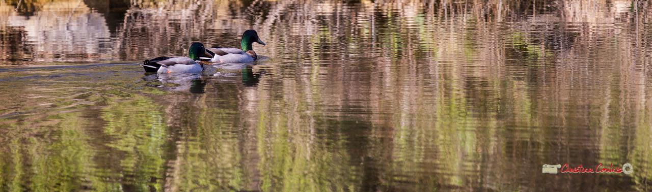 Deux canards colverts, réserve ornithologique du Teich. Samedi 16 mars 2019. Photographie © Christian Coulais