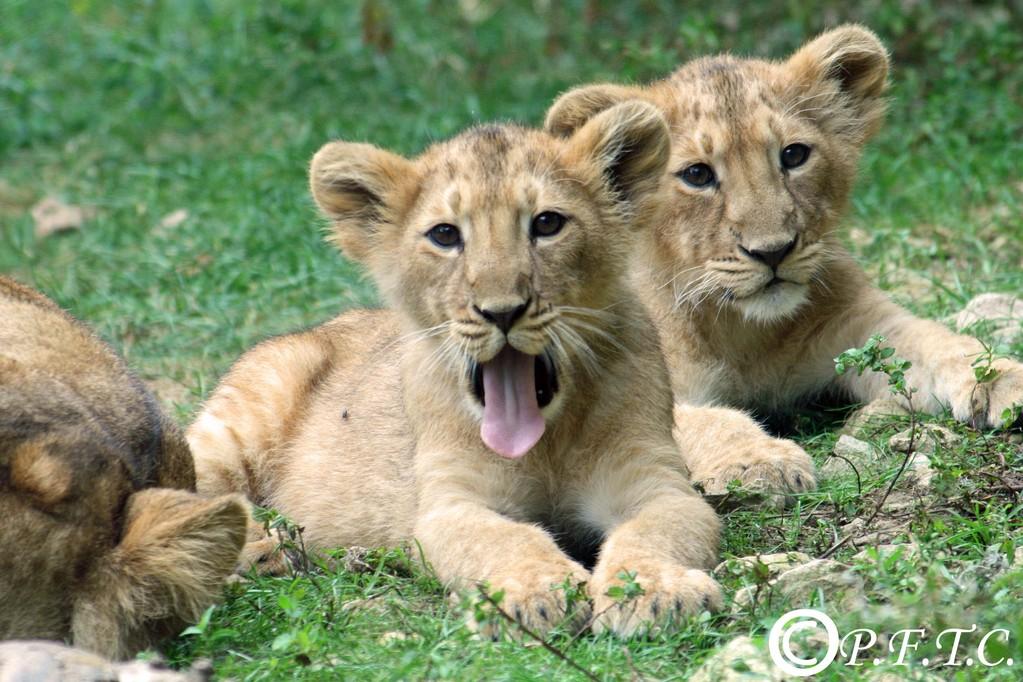 Kankaï et Shirwane nées en avril 2008, zoo de Mulhouse