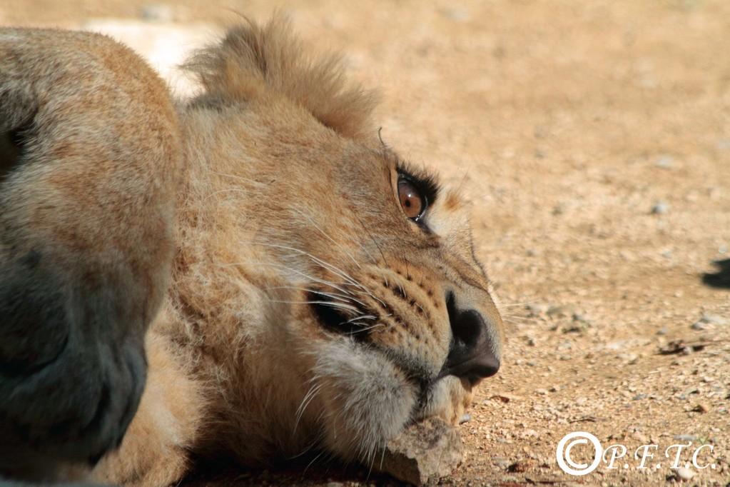 Jeune lion né en juin 2010, zoo de Mulhouse