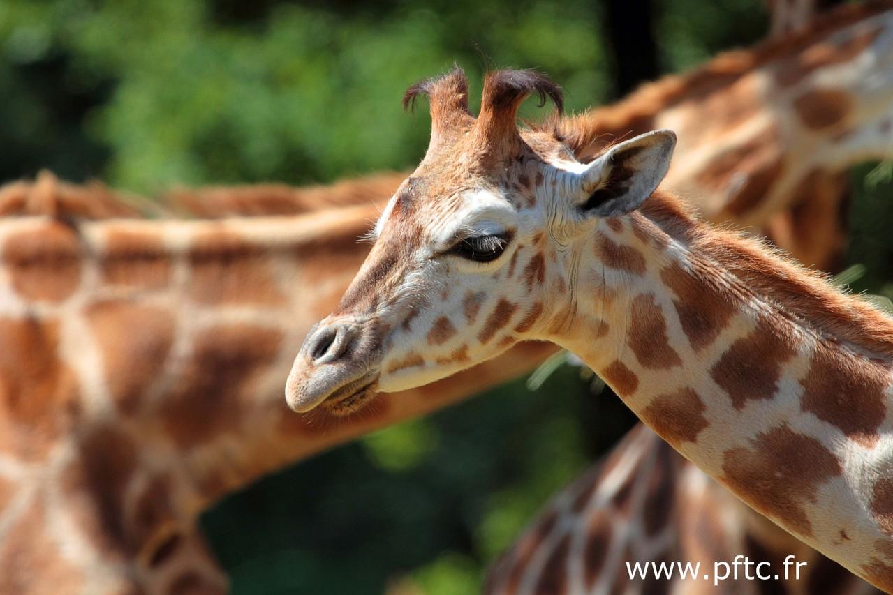 Papillote, bébé girafe née en novembre 2012