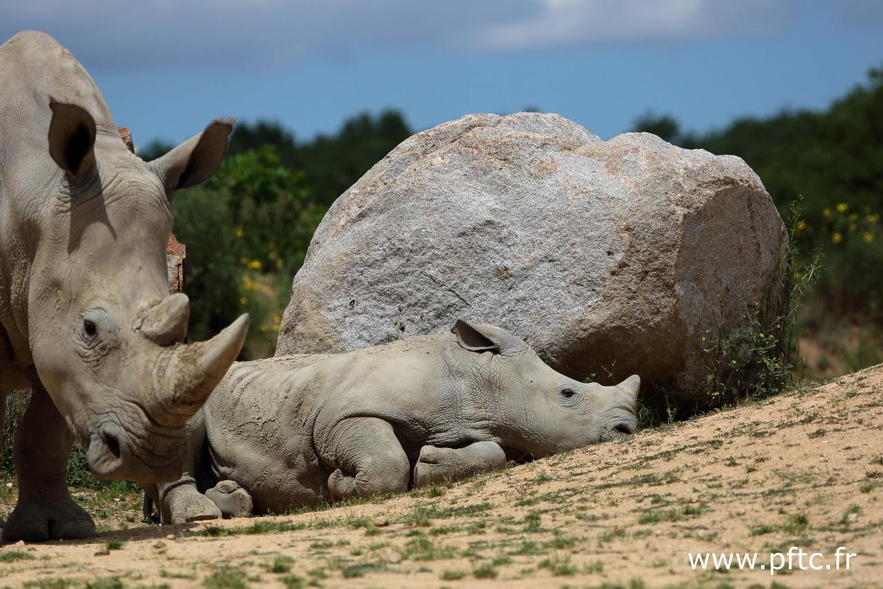 Goliath, bébé rhinocéros né en septembre 2012
