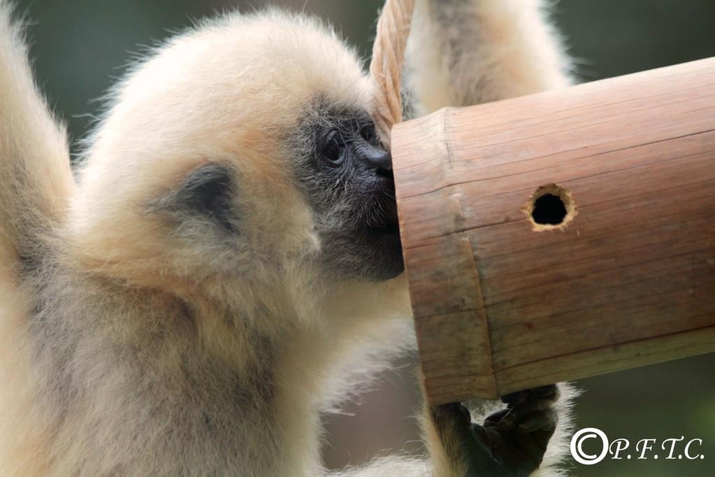 Bébé gibbon, juillet 2011, zoo de Mulhouse