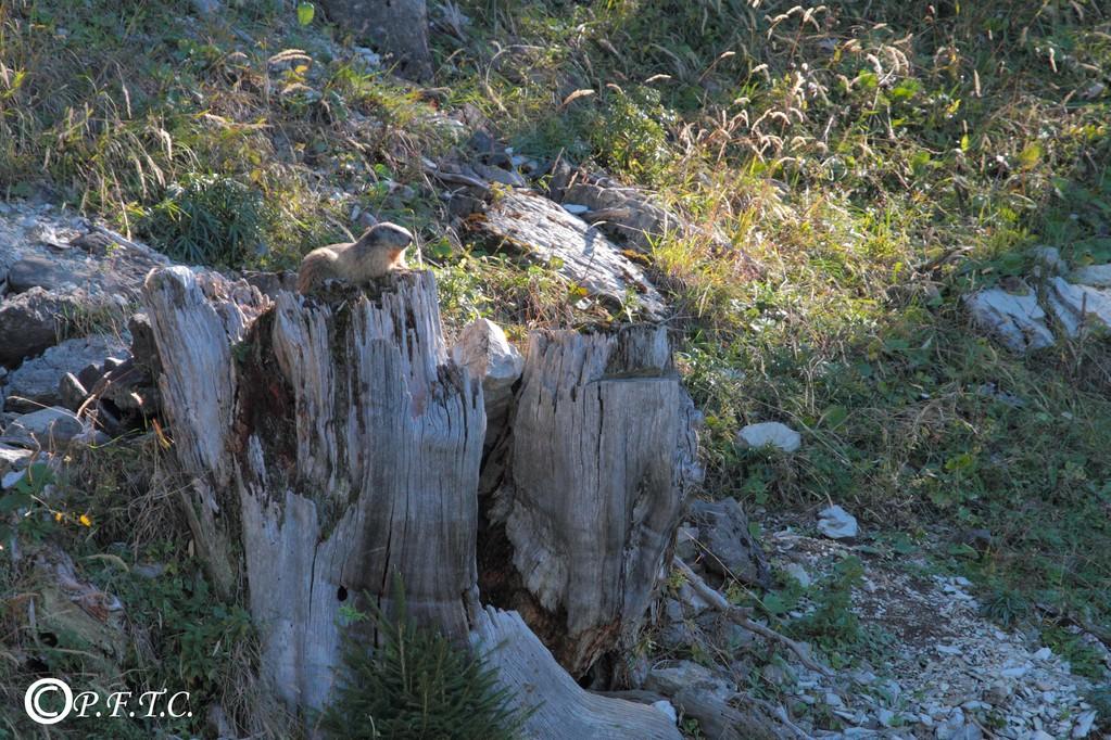 Marmotte, dernier bain de soleil avant l'hibernation