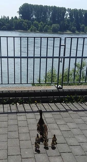Ente Erika und ihre Küken