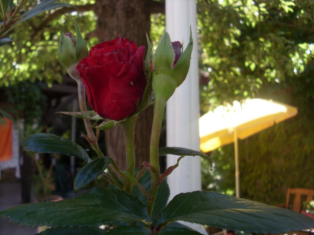 Die erste Rose